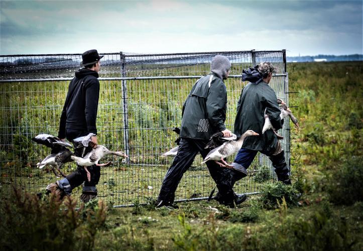 Deze ganzen werden na een actie van Animal Rights naar de vergassingskar gedragen.