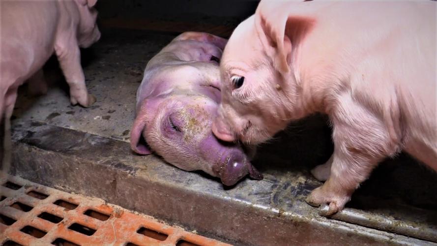 Varkens in de veehouderij sterven altijd een gruwelijke dood.