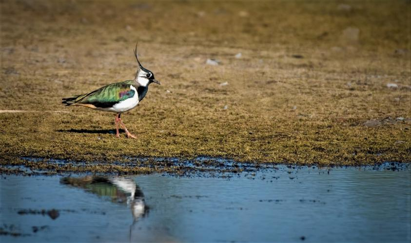 De kievit is een van de meest kenmerkende weidevogels.