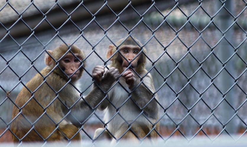 Apen slachtoffer van handel en dodelijke experimenten