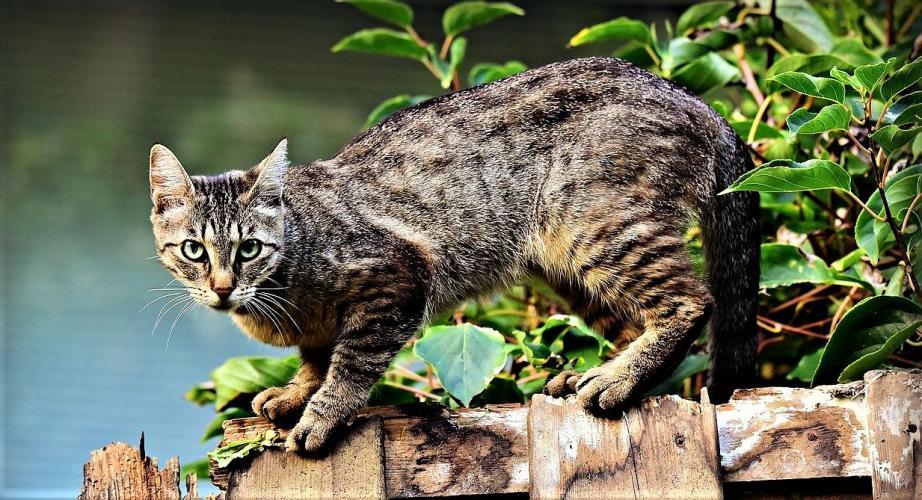 Verwilderde katten worden eerst gevangen en dan afgeschoten.