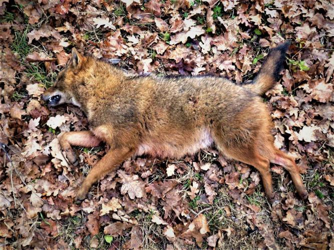 Er is een ware heksenjacht op de vos gaande.
