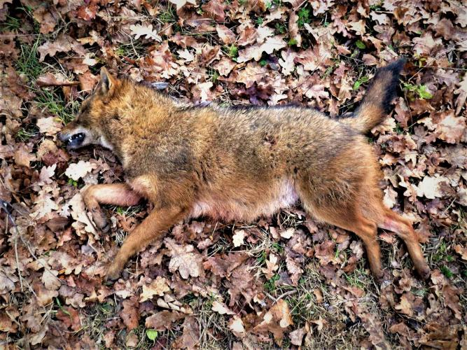 Er is een heksenjacht op de vos gaande.