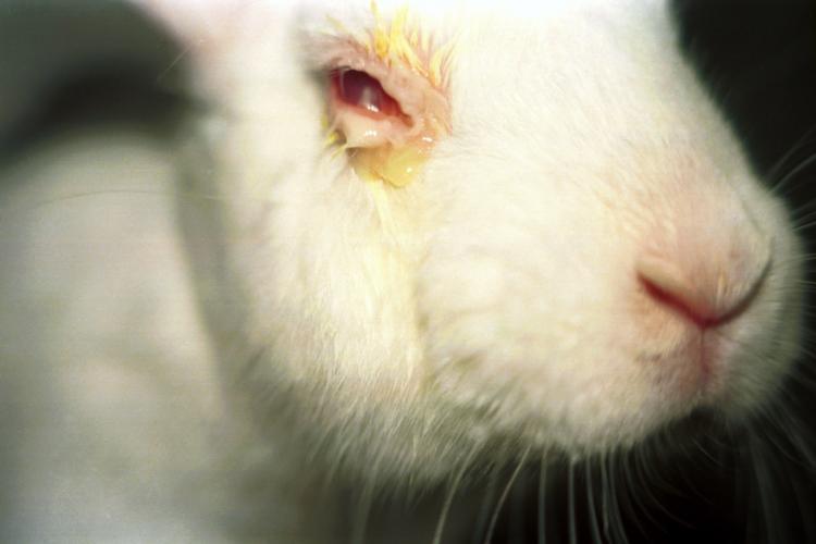 Draize test of oogirritatietest bij een konijn
