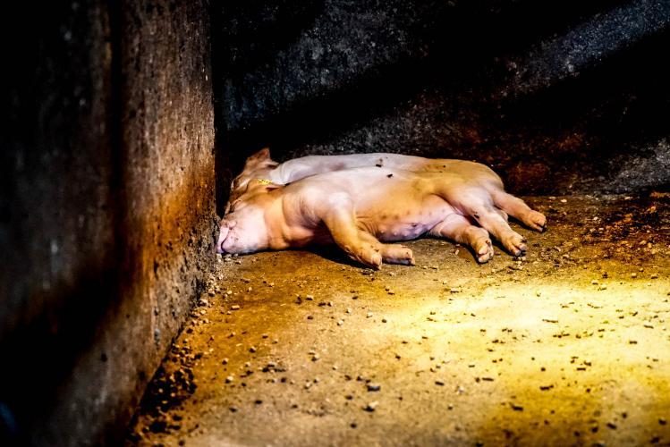 Animal Rights laat het confronterende dierenleed zien in stallen, slachthuizen en transportwagens.