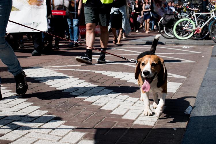 Beagles worden vaak gebruikt in testen