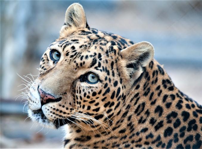 De balans in het ecosysteem raakt zoekt, zodra grote predatoren verdwijnen.