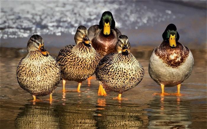 De vijf soorten waarop gejaagd mag worden in het jachtseizoen.