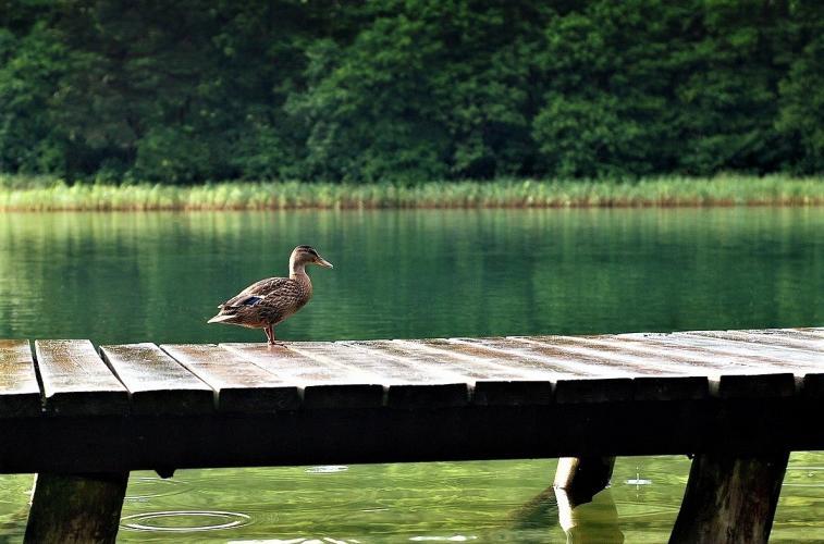 De broedvogelstand en de winterpopulatie in Zuid-Holland zijn gehalveerd.