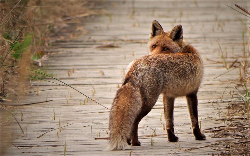Zoals gebruikelijk is de vos de klos.