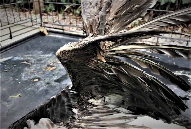 De vleugel van het dier is gebroken.