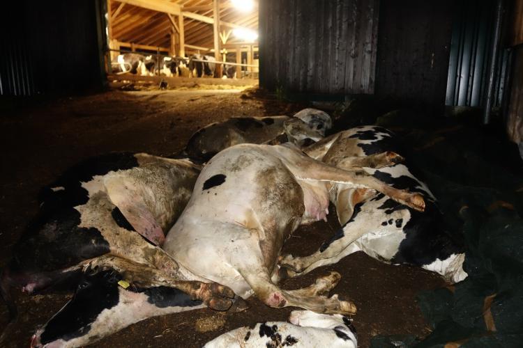 Kadavers in het zicht van de nog levende melkkoeien.