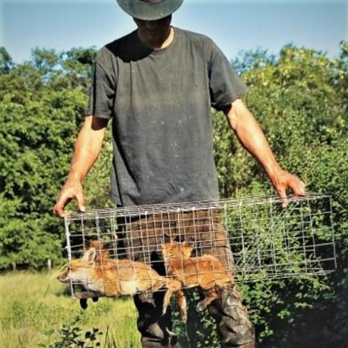 Jonge vossen, gevangen met een kooi.