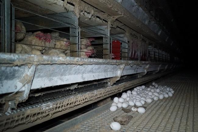 Ernstig dierenleed voor een ei
