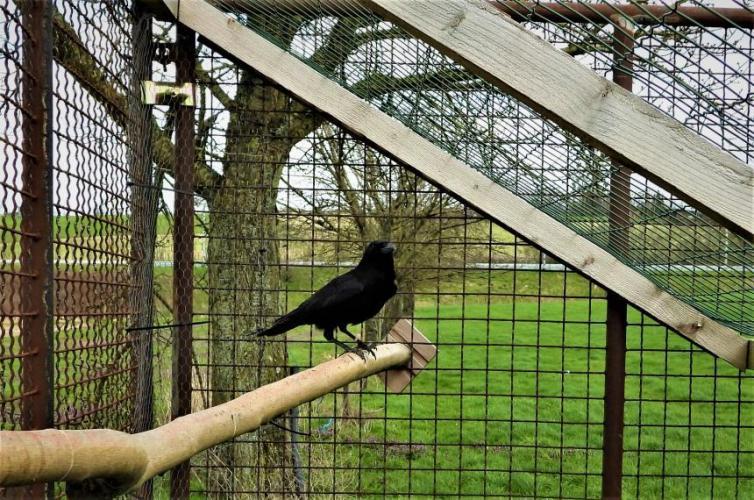 Levende lokvogel in Vlaanderen.