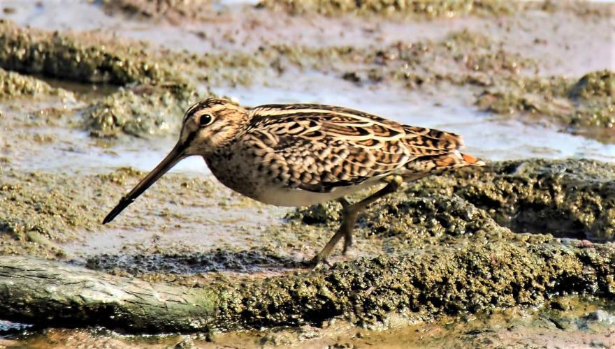De watersnip is zeldzaam, maar als trekvogel nog te zien.