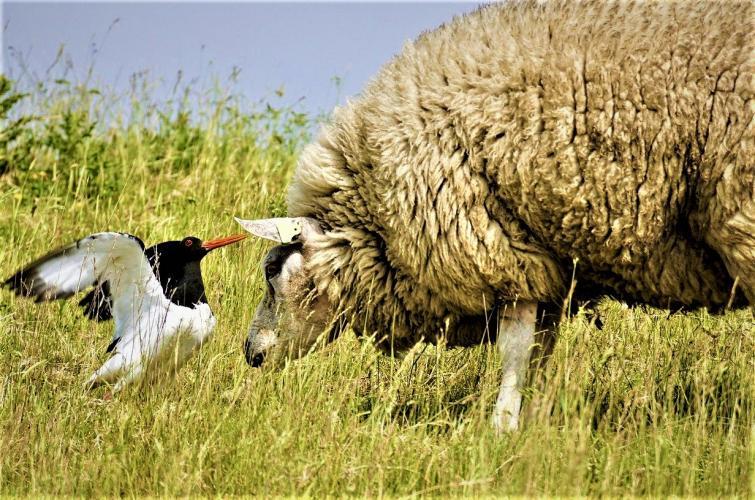 Het leefgebied van weidevogels is ernstig aangetast door intensivering van de landbouw.