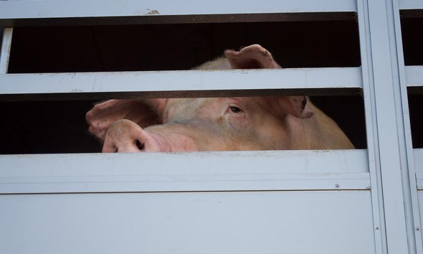Porc Meat Zele
