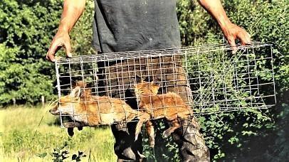 Iedereen mag vossen vangen.