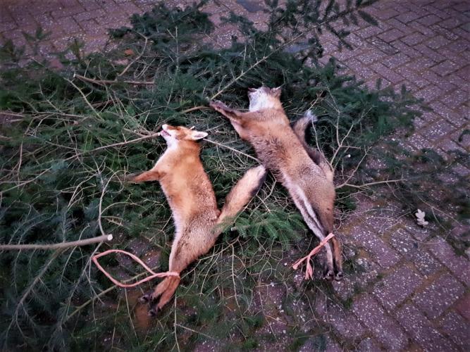 De neergeschoten vossen worden uitegelegd in een