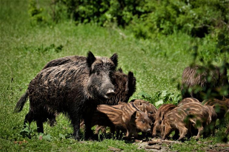 Everzwijnen verzorgen en zogen elkaars jongen.