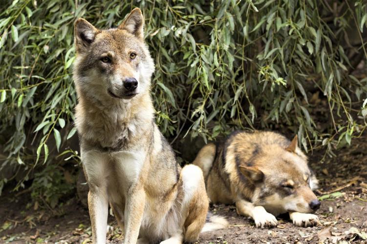 Een meerderheid is onder alle omstandigheden tegen het doden van wolven.