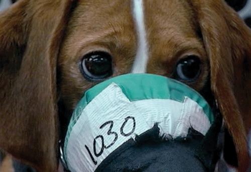 Beagle in een giftigheidstest