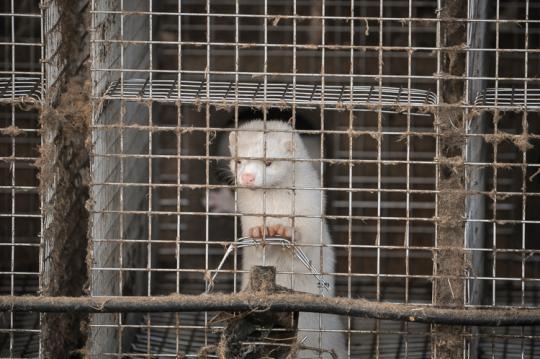 Nerts in Rios Mink in 2015: alle Nederlandse fokkerijen zijn gesloten in 2020