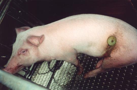 Nierstichting geeft miljoenen euro's aan dierproeven